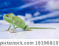 Chameleon on the blue sky, bright vivid exotic  16396819