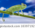 Chameleon on the blue sky, bright vivid exotic  16397192