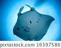 黃貂魚 魟魚 蝠鱝 16397586