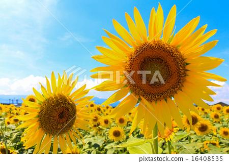sunflower, sunflowers, bloom 16408535
