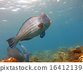Fish Humphead Parrotfish, Bolbometopon muricatum 16412139
