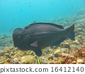 Fish Humphead Parrotfish, Bolbometopon muricatum 16412140