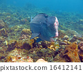 Fish Humphead Parrotfish, Bolbometopon Bali. 16412141