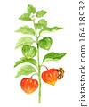 茶蔗子屬 鵝莓 中國燈籠 16418932