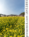 Rape flowers and cherry blossoms 16453893