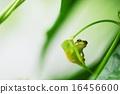青蛙 兩棲的 日本樹蛙 16456600
