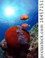 小丑鱼 海底的 海葵 16457151