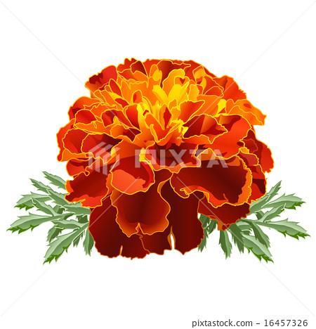 Red Marigold (Tagetes) 16457326