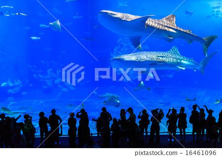 美麗海水族館鯨鯊 16461096