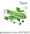 Watercolor green pea 16470635