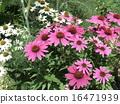 국화과의 자주색 꽃 에키나케아 16471939