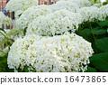 Hydrangea arborescens Annabelle summer flowers 16473865