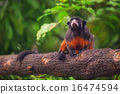 White-lipped tamarin, monkey sitting in a tree. 16474594