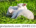動物 羊羔 自然 16485133