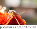 Mantis 16485141