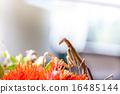 Mantis 16485144