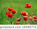 poppy, nature, red 16489735