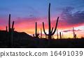 Saguaro Sunrise 16491039