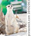 meerkat, mammal, suricata 16492063