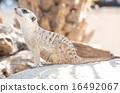 meerkat, mammal, suricata 16492067