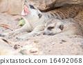 meerkat, mammal, suricata 16492068