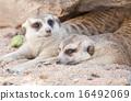 meerkat, mammal, suricata 16492069