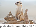 meerkat, mammal, suricata 16492073