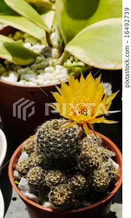 穀類,開花,多汁,耐旱,淡黃色,夏日的天空 16492739