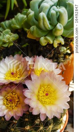 禮儀,開花,多汁,耐旱植物,花紅色,夏日的天空 16492847