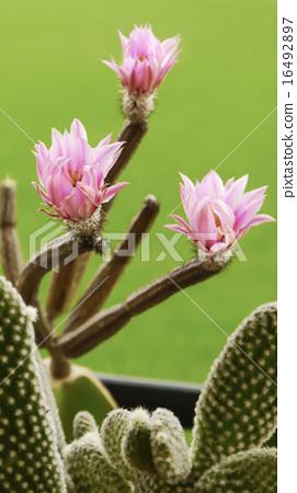 儀式,花卉,多汁,抗旱植物,園林美學 16492897