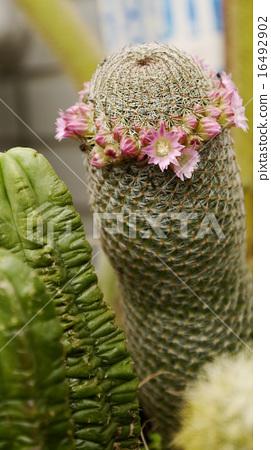 儀式,花卉,多汁,抗旱植物,園林美學 16492902