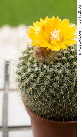 儀式,花卉,多汁,抗旱植物,園林美學 16492903