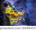 Leafy Sea dragon 16496455