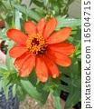 cultivar, garden variety, zinnia 16504715