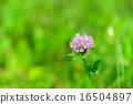 four-leaf clover flower 16504897