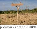 pointer, wooden, grass 16508896
