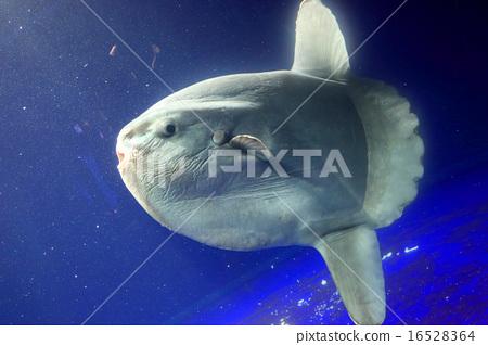Sunfish 16528364