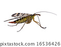 Scorpion Fly on  white background 16536426