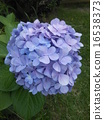 shrub, shrubs, bluish purple 16538373
