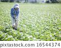 edamame, weeding, female 16544374