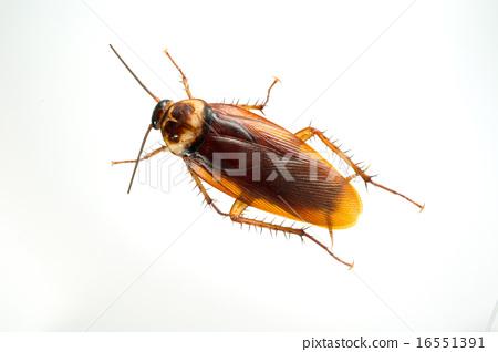美國蟑螂 16551391