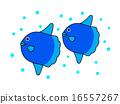 游泳 翻车鱼 海鱼 16557267