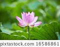 蓮花 植物人 植物的 16586861