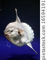 池袋 鱼 深海 16594191