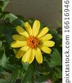园艺品种 百日草 佛教插花 16616946
