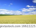 小麦地 广阔的 上富良野町 16622225