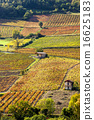 vineyards near Beaujeu, Beaujolais, Rhone-Alpes 16625183