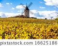 vineyard with windmill near Chenas, Beaujolais 16625186