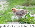little chicken 16626376