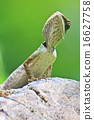 Green crested lizard 16627758